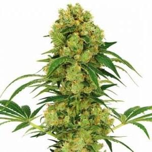 Big Bud Seeds