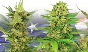 Buy Feminized Marijuana Seeds
