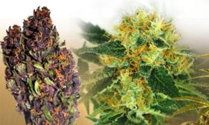Buy Indoor Marijuana Seeds