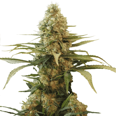 Chronic Widow Seeds