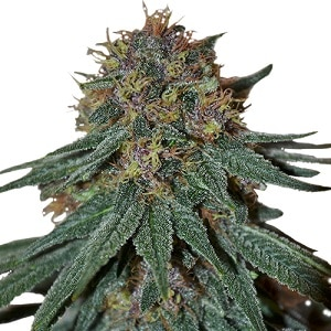 Purple Haze Seeds