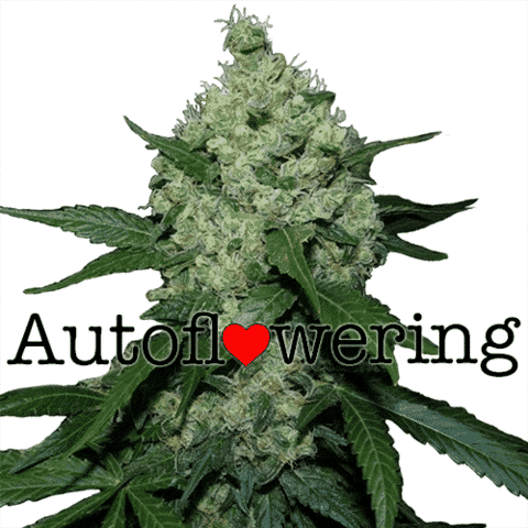 Super Skunk Autoflower Seeds