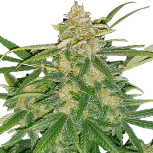 Critical Mass Feminized Seeds