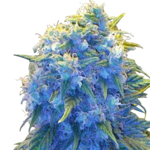 Blue Haze Feminized