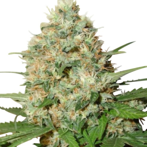 Candy Kush Feminized
