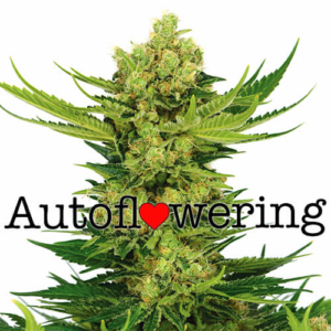 Cheese Autoflower Seeds