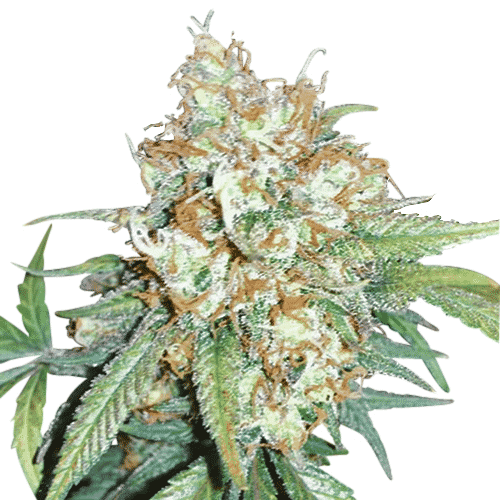 Cherry Pie Feminized