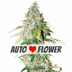 Buy Auto Flowering Seeds | Marijuana Seeds USA
