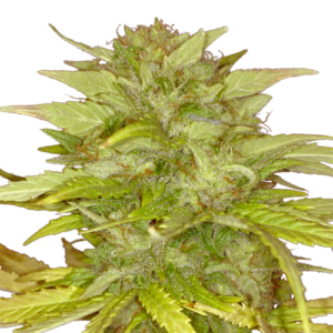 Orange Bud Feminized