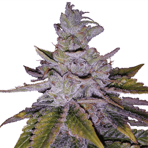 Purple Kush Feminized