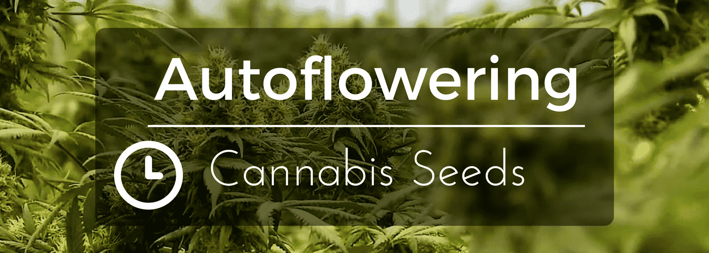 Autoflower Cannabis Seeds