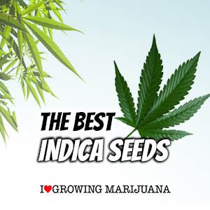 Indica Cannabis Seeds