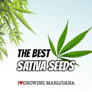 Sativa Cannabis Seeds