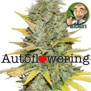 Gold Leaf Autoflowering Seeds