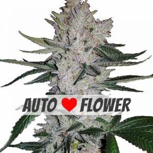 Gorilla Glue Autoflowering Seeds
