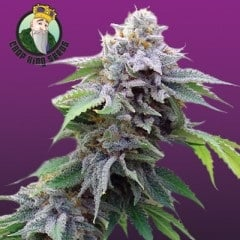 Buy Blue Cookies Feminized Seeds In Canada