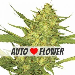 Sour Diesel Autoflower Seeds