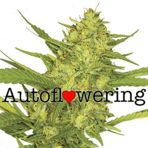 Sour Diesel Autoflower Seeds