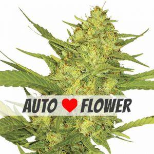 Sour Diesel Autoflowering Seeds