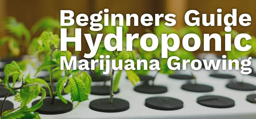 Growing Marijuana Seeds Using Hydroponics