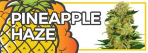 Pineapple Haze Marijuana Seeds