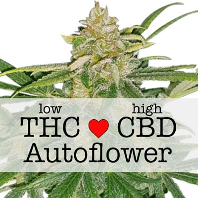 Critical Mass CBD Autoflowering Feminized Seeds