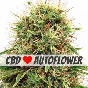 Kush CBD Autoflower Seeds