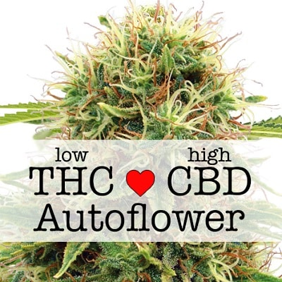 Kush CBD Autoflower Seeds