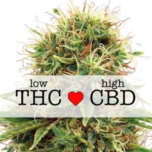 Kush CBD Feminized Seeds