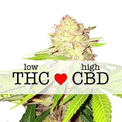 Strawberry Kush CBD Feminized Seeds