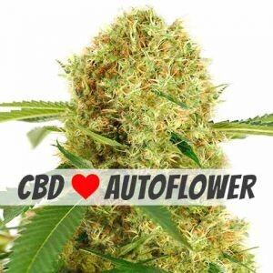 White Widow CBD Autoflower Seeds