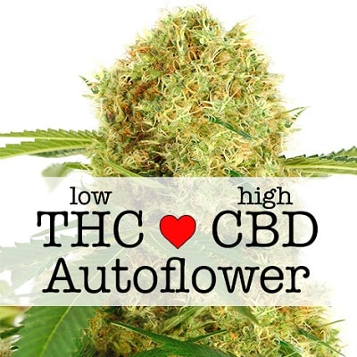 White Widow CBD Autoflower Seeds
