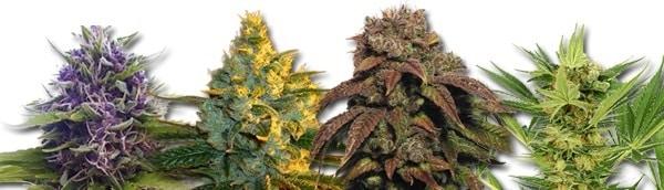 Marijuana Seeds 2020