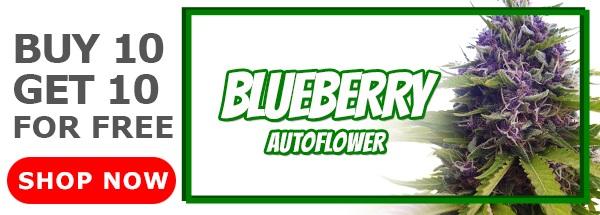 420 Sale Blueberry Autoflower Seeds