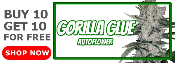 Gorilla Glue Autoflower Seeds Sale