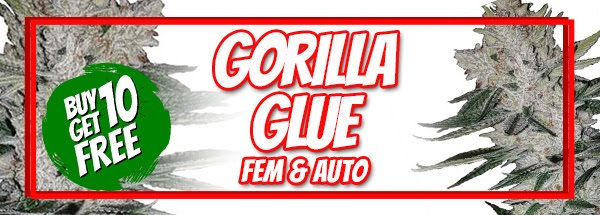 Gorilla Glue Seeds Sale