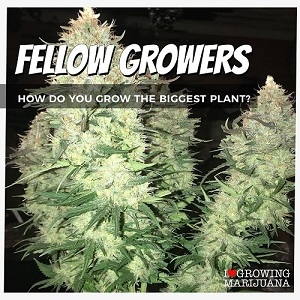 Grow High Yields Of Weed From Seed