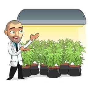 Flowering Cannabis Plants