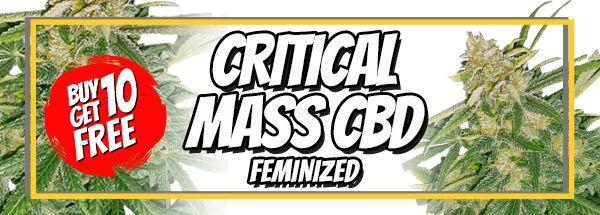 710 Sale Free Critical Mass CBD Seeds