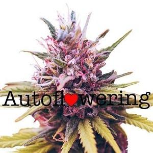 Zkittles Autoflowering Seeds