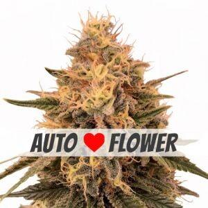 Bruce Banner Autoflowering Seeds