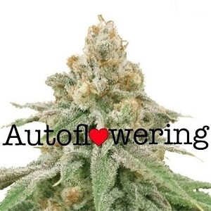 Wedding Cake Autoflowering Seeds