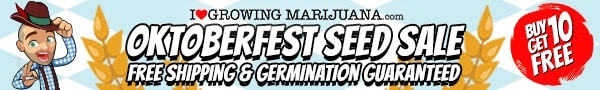 Oktoberfest Marijuana Seeds Sale