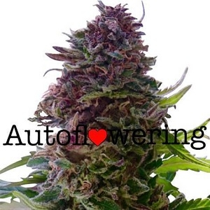 Grand Daddy Purple Autoflowering Seeds