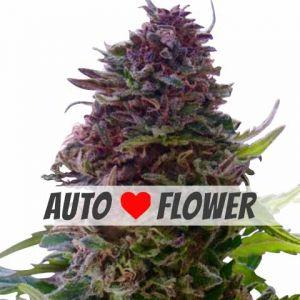 Granddaddy Purple Autoflower