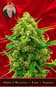 Afghani Hawaiian x Laos x Jamaica Marijuana Seeds