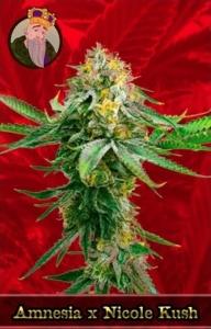 Amnesia x Nicole Kush Marijuana Seeds