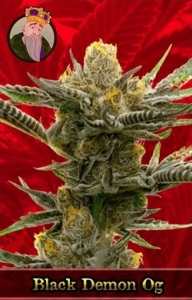 Black Demon OG Marijuana Seeds