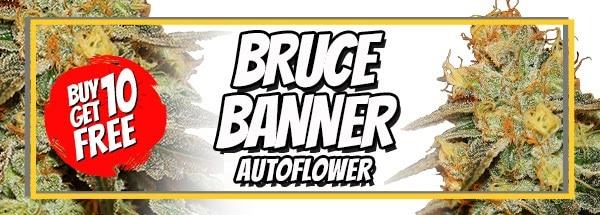 Bruce Banner Autoflower Sale