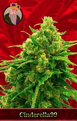 Cinderella 99 Marijuana Seeds